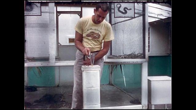 1950s: UNITED STATES: man picks up snake. Man puts snake fangs over glass bowl. Man drains venom from snake