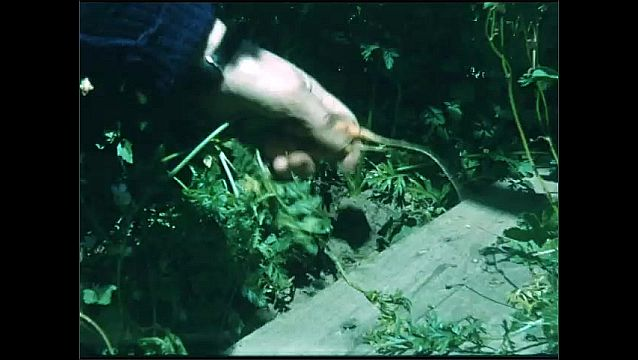 1960s: Hand pulls wild carrots from garden near pavement. Breeze blows white seeds from dandelion away.