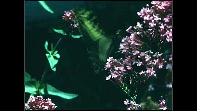 1960s: Clusters of pink flowers sway in breeze. Butterfly lands on cluster of pink flowers in backyard garden.