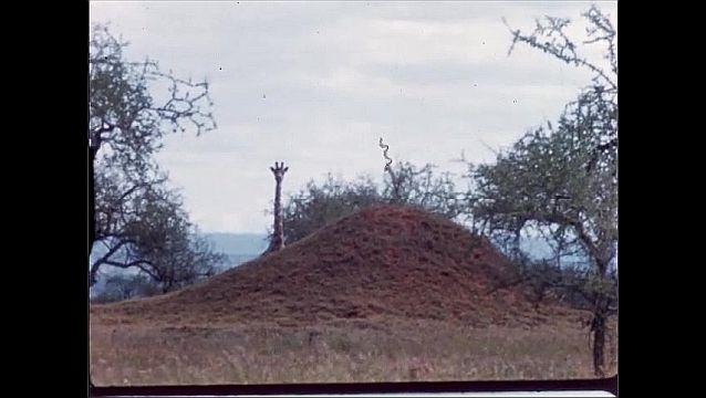 1960s: AFRICA: giraffes run through trees. Giraffe stands behind mound. Puma in undergrowth.