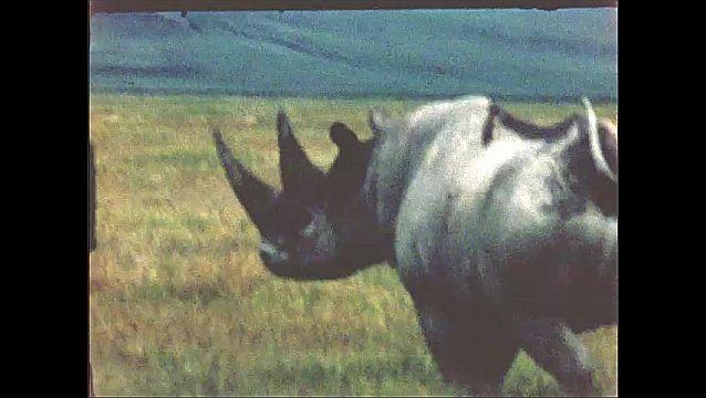1960s: AFRICA: black rhino look at camera. Birds sit on back of rhino.