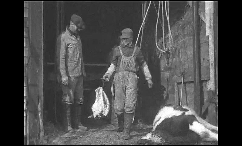 1920s: Men use knives and hacksaw to decapitate cow. Cow head hangs from pulley ropes. Man carries head away. Men position cow carcass in barn.