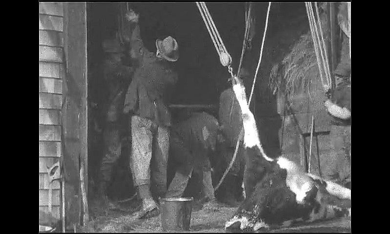 1920s: Men connect ropes to front legs of cow carcass. Men pull ropes and lift body of cow upright.