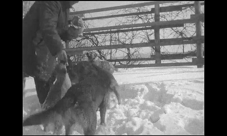1920s: Man runs into snowy yard with bag of meat. Dogs and puppies follow man into yard. Man feeds meat to dogs.