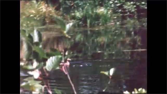 1960s: BRITISH COLUMBIA: CANADA: birds take off from water. Ducks on lake