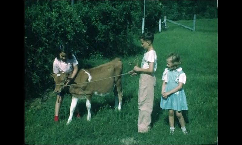 1940s: Kids standing with calves in grass. Kids holding calf, pull calf with rope.