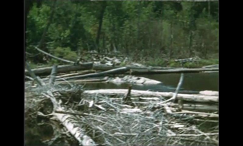 1940s: UNITED STATES: men walk through woods. Fallen trees and debris in water. Channel made from wood.