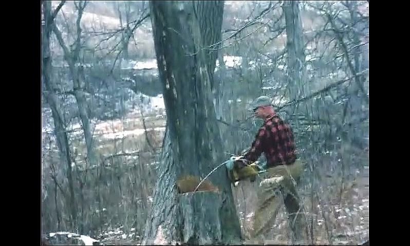 1960s: UNITED STATES: man cuts into tree with chain saw. Tree falls on ground. Man with axe looks at tree.