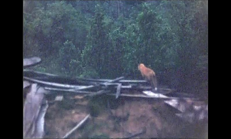 1940s: UNITED STATES: fox looks at camera from log pile in woods.  Fox in field. Foxes by den.