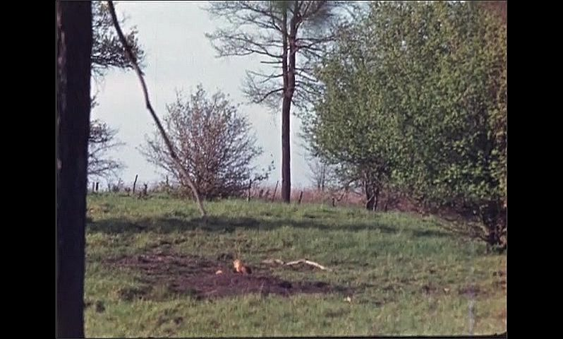 1940s: UNITED STATES: fox cubs by den in field. Foxes lie on ground. Den in soil.