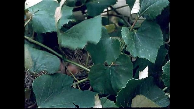 1940s: Small bird nesting with babies covered by leaves, baby birds left in nest while parent bird is away