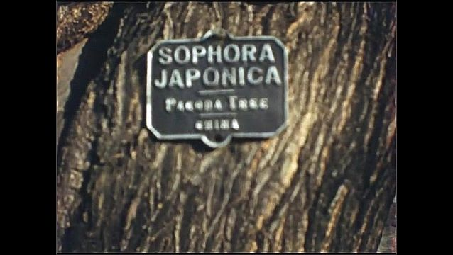 1930s: Tree branches and leaves sway in wind. Tin sign on Pagoda Tree trunk. Branches on pagoda tree. Tin sign on English Maple. Hand holds twig with maple leaves.