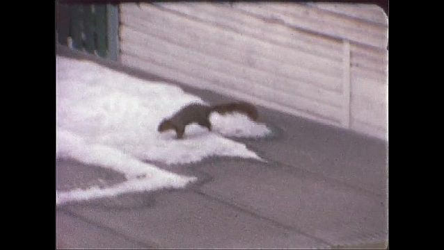1940s: UNITED STATES: squirrel eats on roof. Squirrel runs in snow.