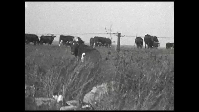 1920s: UNITED STATES: fence around field. Cows in field. Horses in street. View of track.