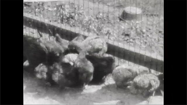 1930s: Views of chickens in pen. Woman gardening. Views of chickens in pen.