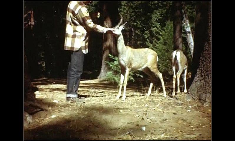 1940s: Men feed deer by hand. Bird hops along forest floor, grabs cracker, flies away.