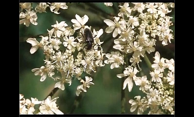 1960s: UNITED STATES: wild flowers in meadow. Beetle on white flowers. Shield bug. Fly on flowers.