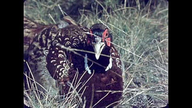 1950s: UNITED STATES: pheasant in field