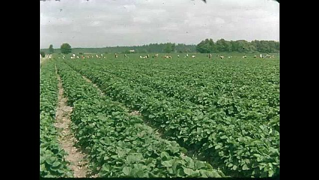 1950s: UNITED STATES: people work in field. View across field.