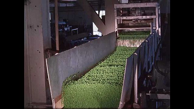 1950s: Peas are pushed down conveyor belt in processing machine.