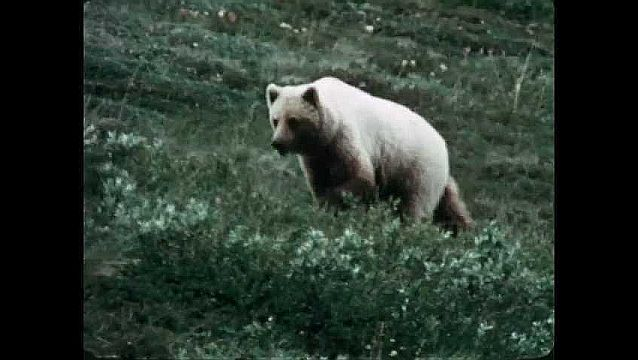 1960s: White bear walks across grassy hillside. Person approaches elk as it grazes, with a camera.