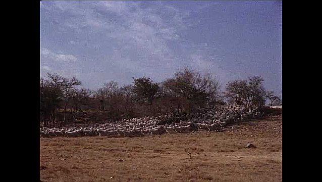 1950s: UNITED STATES: sheep run through field