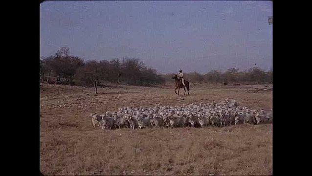 1950s: Two men on horseback usher herd of sheep across field. Herd of cattle moving across hillside.