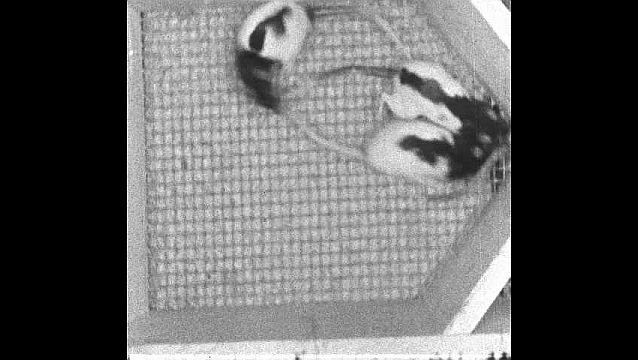 1950s: Four rats are inside a cage and fight for a piece of food, two rats escape through compartment door and come back, the four rats fight and move around the cage.
