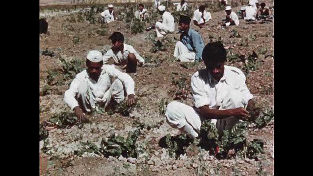 1950s: Young men work in field.  Men pick crop.  Men spray plants with pesticides.