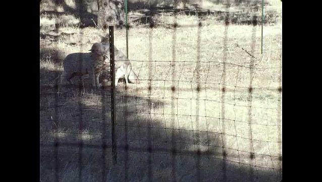 1960s: UNITED STATES: coyote bites sheep on neck.