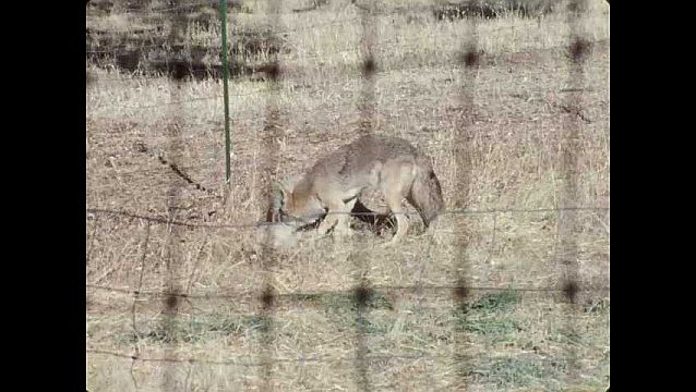 1960s: UNITED STATES: coyote pins sheep to ground. Coyote kills sheep. Coyote bites sheep.