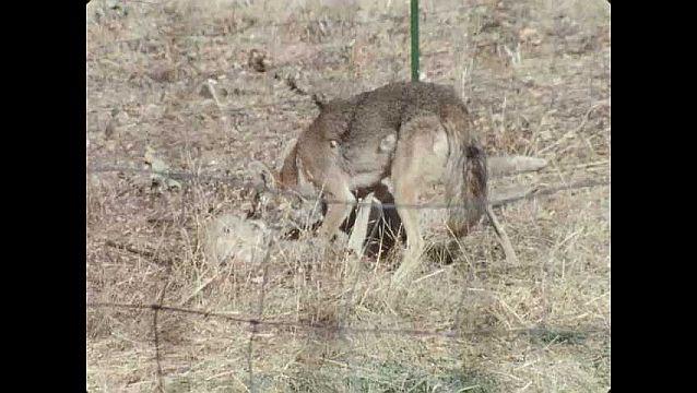 1960s: UNITED STATES: sheep kicks legs. Coyote pins down sheep.