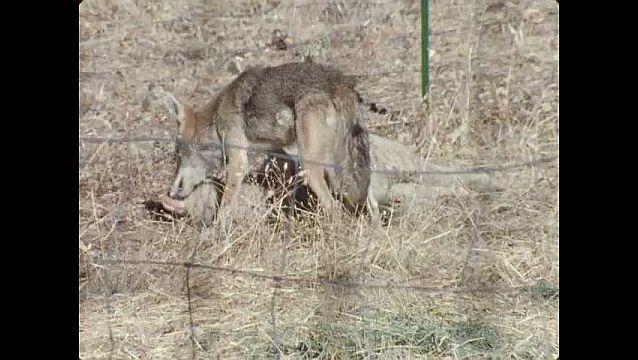 1960s: UNITED STATES: sheep on ground. Coyote looks around. Coyote bites sheep