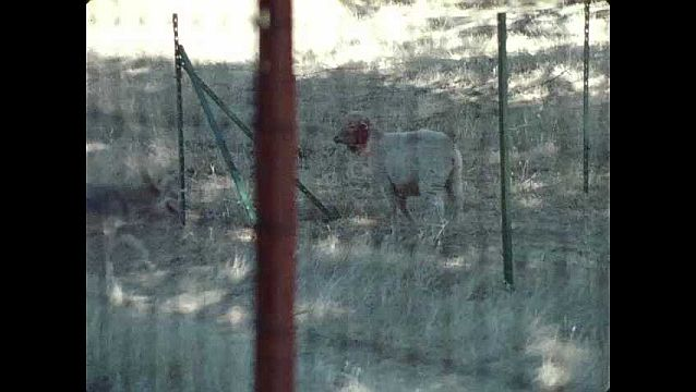 1960s: UNITED STATES: sheep stamps foot. Coyote jumps into sheep enclosure. Coyote attacks sheep in pen