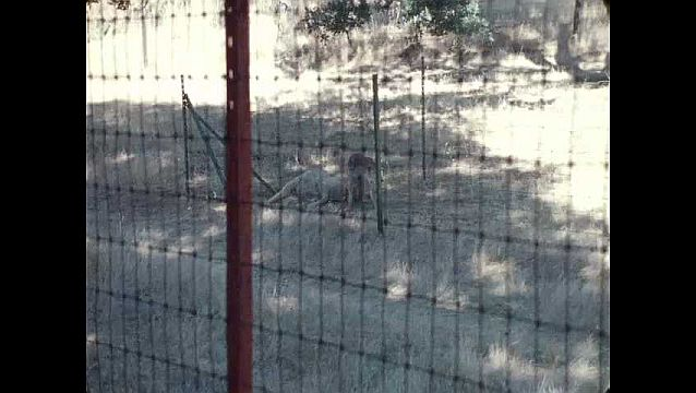 1960s: UNITED STATES: coyote with sheep in enclosure