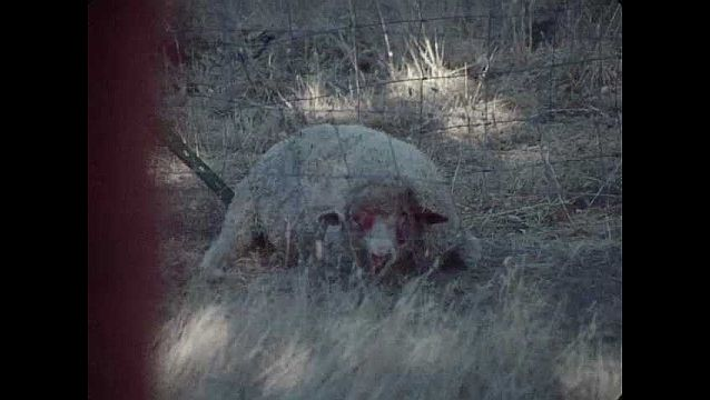1960s: UNITED STATES: injured sheep in field. Sheep pants. Sheep calls. Sheep stands