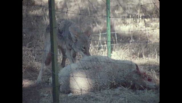 1960s: UNITED STATES: coyote eats sheep