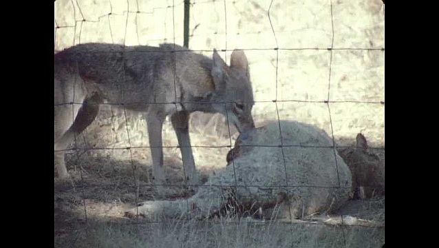 1960s: UNITED STATES: coyote eats stomach of sheep. Dead sheep on ground. Coyote tears meat from sheep.