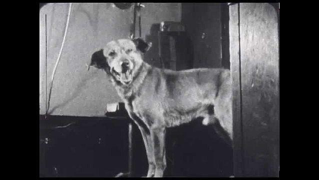 1940s: UNITED STATES: dog looks at camera. Dog sits on platform. Dog panting.