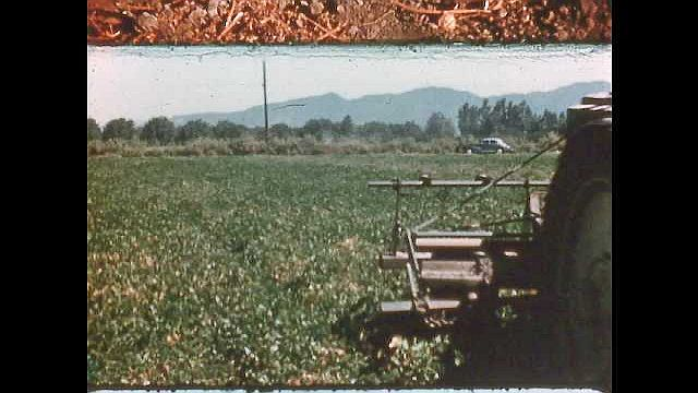 1950s: UNITED STATES: beans in field. Farmer drives tractor across field. Farmer cuts bean roots