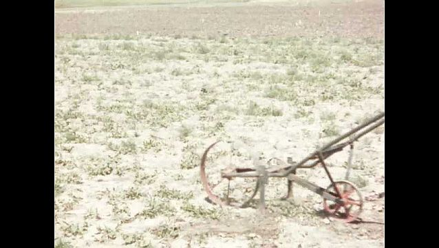 1940s: UNITED STATES: man pushes wheel across ground. Man creates furrows. Depth of weed roots in soil