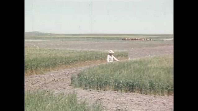 1940s: UNITED STATES: man walks through crops in field. Man stands in field. Pencil points at crops damaged.