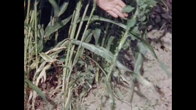 1940s: UNITED STATES: hand shows plant to camera. Damaged crops.