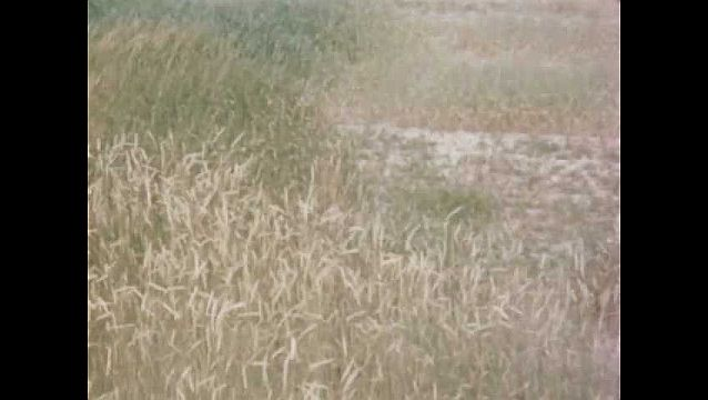 1940s: UNITED STATES: crop blows in wind in field. Edge of field