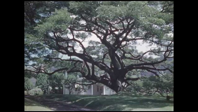1950s: HAWAII: tree by building. Tree blows in breeze. Pink flowers on tree. White flowers on tree