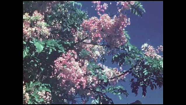 1950s: HAWAII: pink flowers on tree. Pink flowers blow and rustle in breeze. Pale pink and white flowers.
