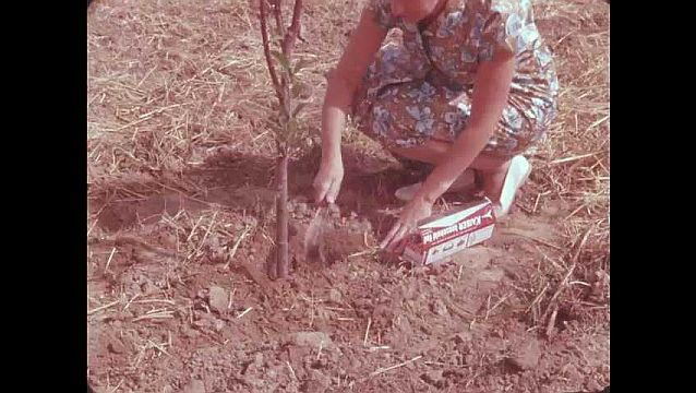 1950s: UNITED STATES: lady plants tree with trowel.