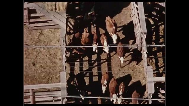 1950s: Man herds cattle down path between pens. Cattle in pens. Man closes gate.