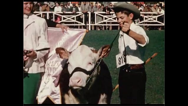 1950s: Man kneels on ground, brushes dirt around. Men stand with cow and flag, woman holds trophy. Boy stands next to cow. People stand around pen, look at cows.