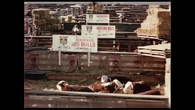 1950s: People walk around pens full of cattle.